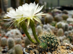 Echinopsis ancistrophora TB 0418.1