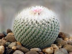 Epithelantha micromeris SB 125