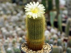 Eriocactus leningausii