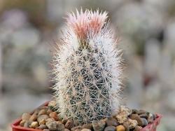 Escobaria albicolumnaria SB 1042