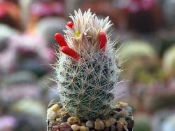 Escobaria duncanii SB 467