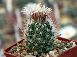 Escobaria robertii LX 184