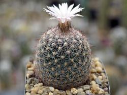 Escobaria varicolor SB 425