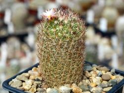 Escobaria villardii SB 66