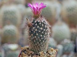 Escobaria vivipara v. neomexicana SB 129