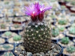 Escobaria vivipara v. rosea RP 48