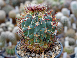Glandulicactus mathssonii SB 1449