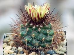 Gymnocactus aguirreanus MZ 396