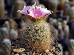 Gymnocactus knuthianus RS 678
