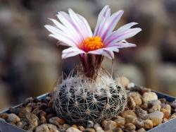 Gymnocactus saueri ssp. gonzalezii PP 1234