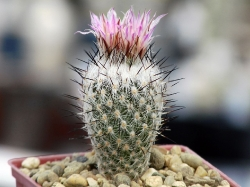 Gymnocactus subterraneus v. zaragosae MZ 05