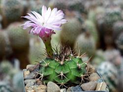Gymnocalycium damsii ssp. evae STO 983