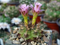 Gymnocalycium damsii ssp. evae v. boosii STO 1711