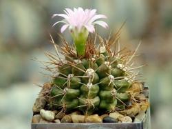 Gymnocalycium damsii v. tucavocense L 361