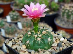 Gymnocalycium denudatum cv. Jan Suba
