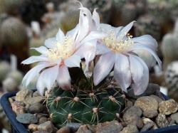 Gymnocalycium erinaceum v. paucisquamosum STO 390