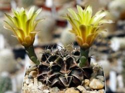Gymnocalycium mihanovichii v. stenogonum P 242