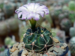 Gymnocalycium monvillei ssp. gertrudae v. confusa VG 298