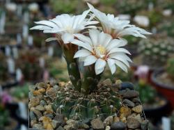 Gymnocalycium quehlianum JO 306