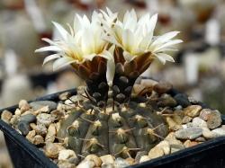 Gymnocalycium riojense ssp. paucispinum v. platygonum VG 065