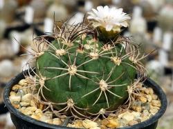 Фото взрослого растения