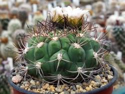 Gymnocalycium saglionis ssp. tilcarense GN 1101/4095