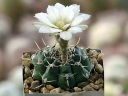 Gymnocalycium schroederianum ssp. paucicostatum LB 960