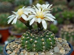 Gymnocalycium stellatum v. flavispinum GN 2874