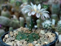 Gymnocalycium stellatum v. flavispinum VG 531