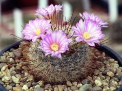 Krainzia longiflora SB 1936