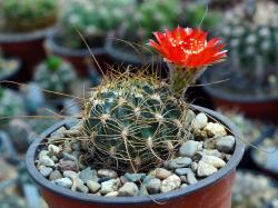 Lobivia sanguiniflora WR 514