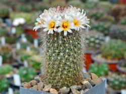 Mammillaria albicans RUS 118