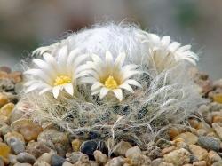 Mammillaria albicoma P 485
