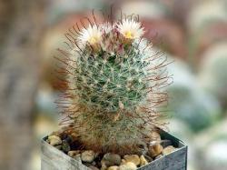 Mammillaria barbata SB 22