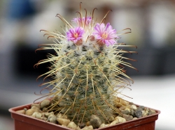 Mammillaria bombycina Rog 383