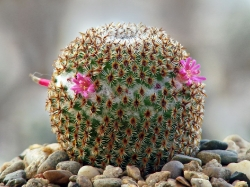 Mammillaria crucigera SB 529