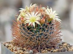 Mammillaria duwei f. красная колючка