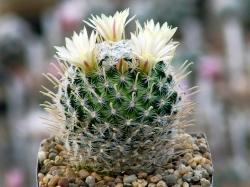 Mammillaria duwei L 1577