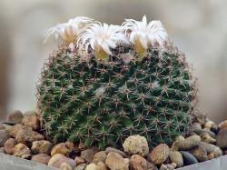 Mammillaria formosa P 262