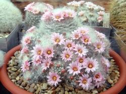 Mammillaria glasii L 1186A