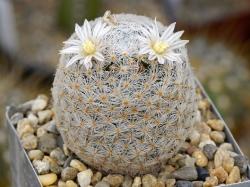 Mammillaria lasiacantha SB 255