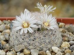 Mammillaria lasiacantha SB 64