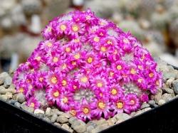 Mammillaria laui v. dasyacantha L 1219