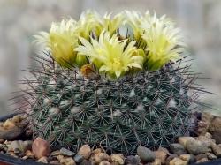 Mammillaria lindsayi L 1135