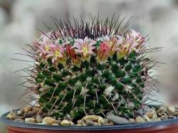 Mammillaria multiseta Rep 842