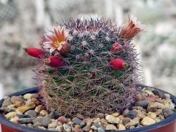 Mammillaria pachycylindrica Rog 83a