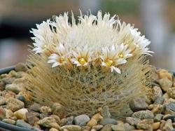 Mammillaria pennispinosa v. nazasensis SB 489