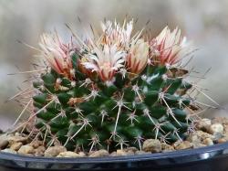 Mammillaria saxicola Repp 1139