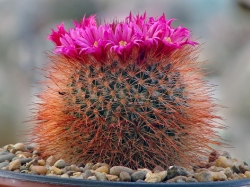 Mammillaria spinosissima 'Super Red'