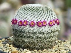 Mammillaria supertexta FO 001